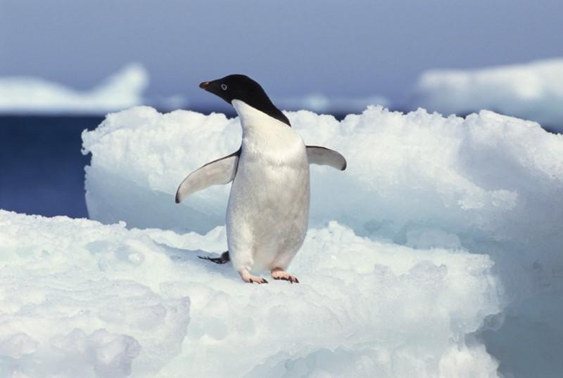 будет рассмотрено двигающееся картинки пингвинов этому